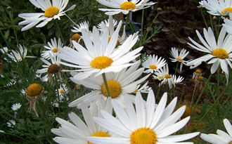 daisy distribution