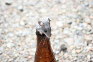 4-mouse-in-beer-alternative-uses-for-beer-things-beer-is-good-for-besides-drinking