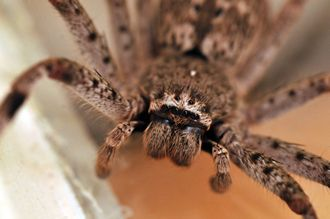 Huntsman spider, Wikimedia Commons