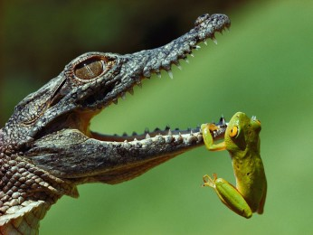 frog-mouth-crocodile-blair_42596_990x742