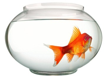 AJ21D2 Goldfish swimming in bowl. Image shot 2004. Exact date unknown.