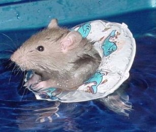 swimming-rat