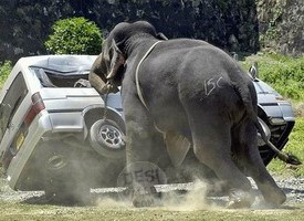 funny-elephant-push-on-the-car-picture