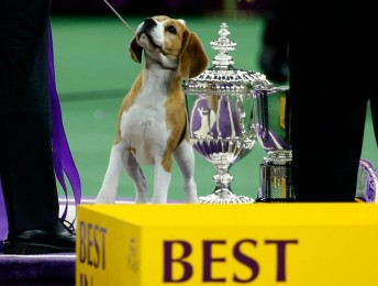 20b7df6ac4126abec881b06f11863252--westminster-dog-show-winner